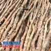Cừ tràm gốc 8 -10 cm chiều dài thân 4m: giá cừ tràm hiện nay
