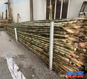 Nơi bán cây Tầm Vông ở TPHCM, Mua cây Tầm Vông Giá Rẻ
